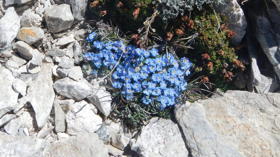 Idaho Cecil D. Andrus-White Clouds Wilderness alpine forget-me-not